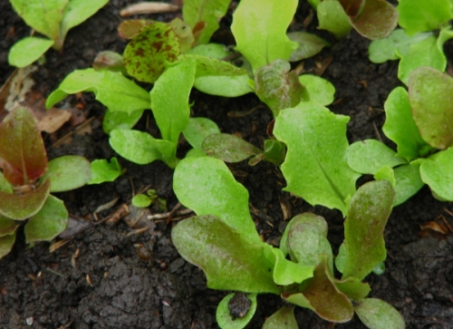 Wet Lettuce2