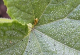 Leafeater: Cucumber beetle.