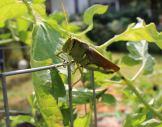 Leafeater: Grasshopper.
