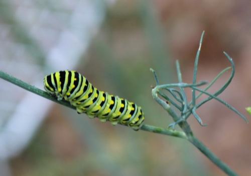 Caterpillar Dill