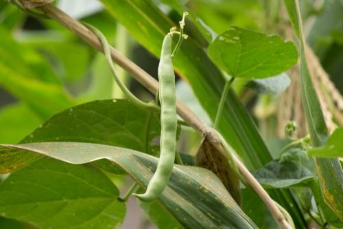 Bean 1