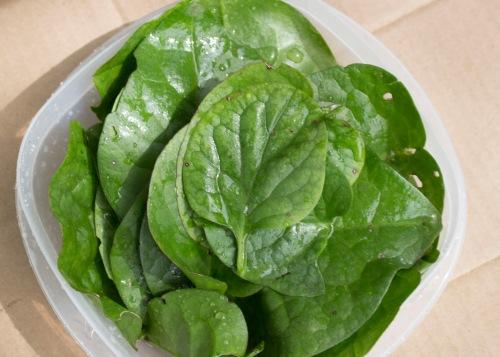 Malabar Spinach 6