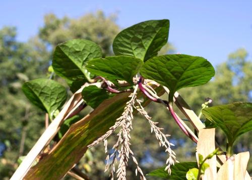 Malabar Spinach 9