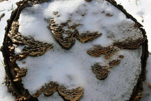 Snow-Mushroom-Log
