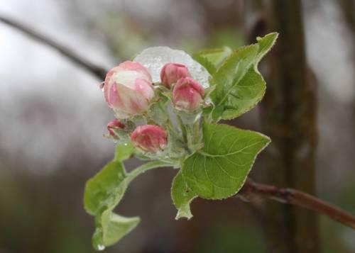 Snowy-Apple-Blossom