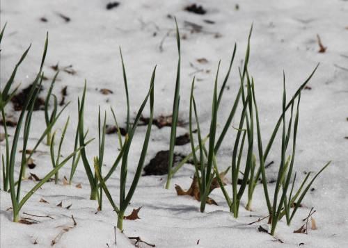 Snowy-Garlic.jpg