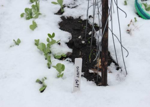Snowy-Peas