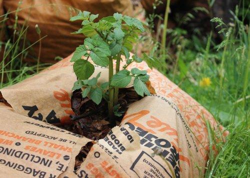 Potatoes in Leaf Mulch.jpg