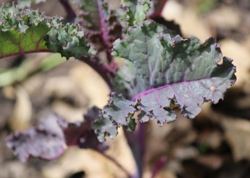 Scarlet Kale 3.jpg