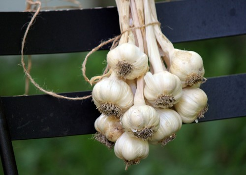 Garlic Harvest.jpg