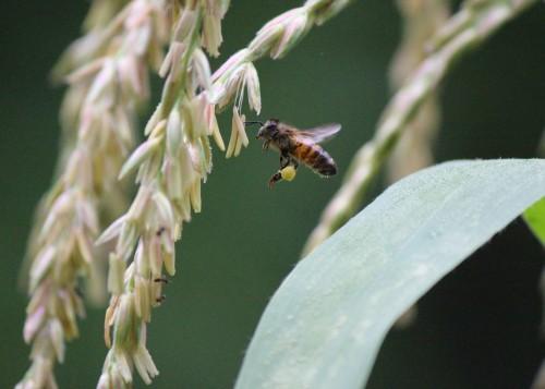 Bees Love Corn 1
