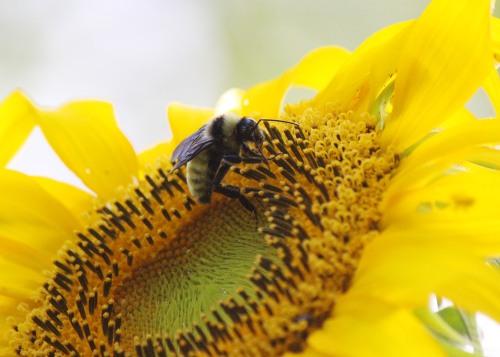Bee and Sunflower 3.jpg