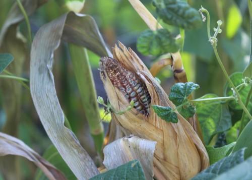 Green Corn.jpg