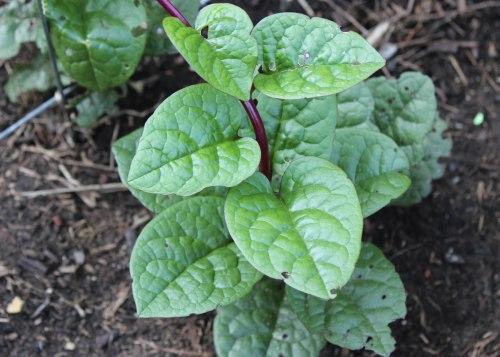 malabar-spinach-1