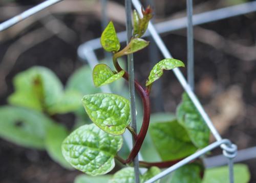 malabar-spinach-2