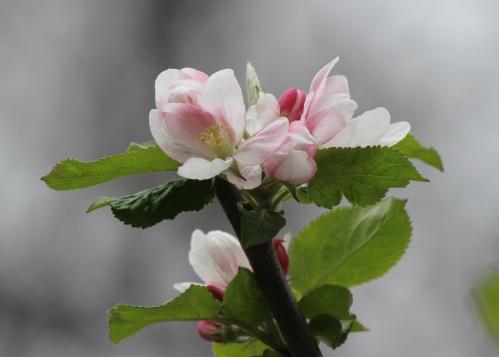 064 Apples.jpg