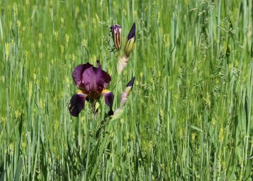 Iris in Barley.jpg
